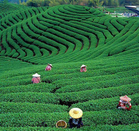 Piantagione di tè 11