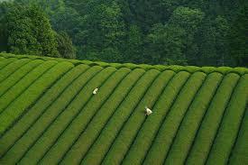Piantagione tè in Giappone