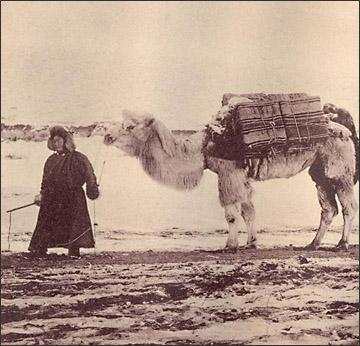 i cammelli usati per il trasporto di tè