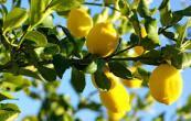 Limoni albero