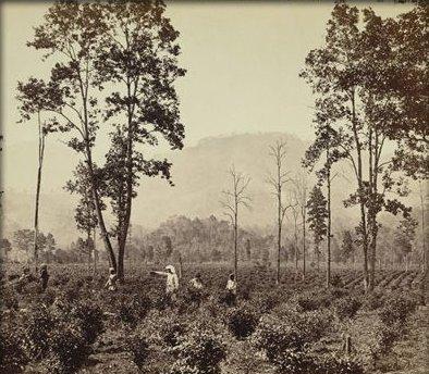 India 1853 prima piantagione
