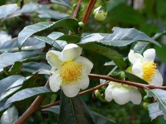 Fiore di Camellia sinensis fiore