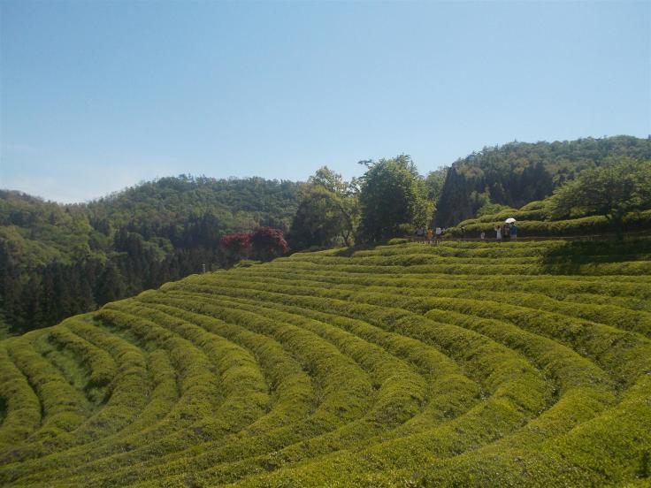 Corea piantagione 1