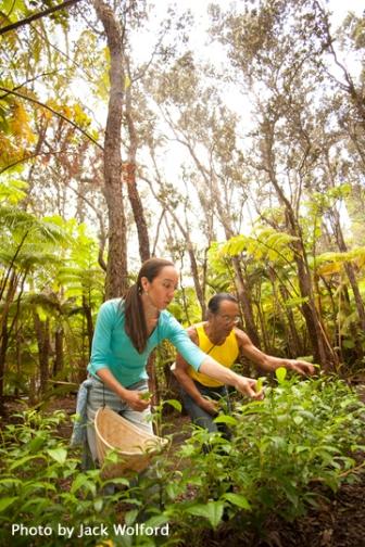 Tea-Hawaii-forest-harvesting-JACK-WOLFORD