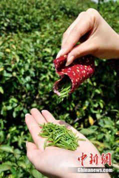 Tè raccolto con le labbra china-henan raccolto