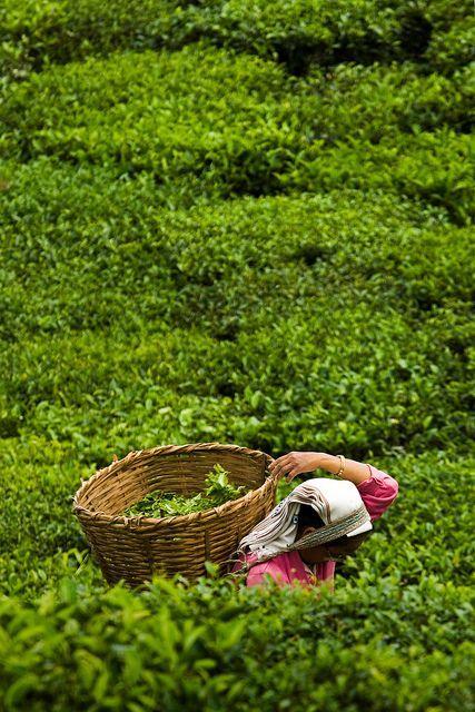 Raccoglitrice di tè