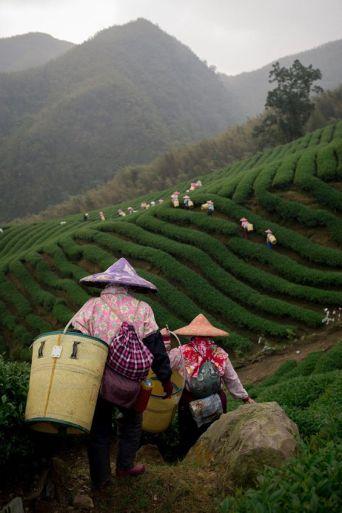 Raccoglitrici di tè 2
