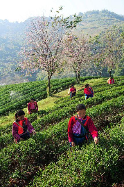 Raccoglitrici di tè