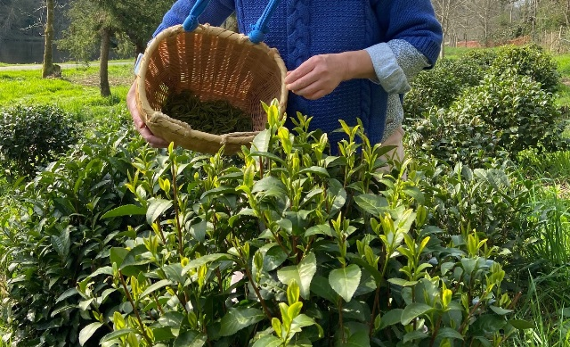 Piantagione di tè in Francia