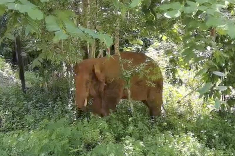 l'elefante in solitaria