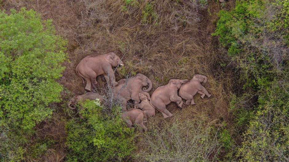 elefanti si riposano (Shine)